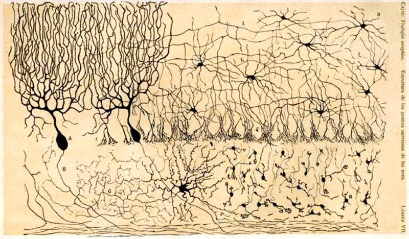 desenho de santiago cajal cerebro